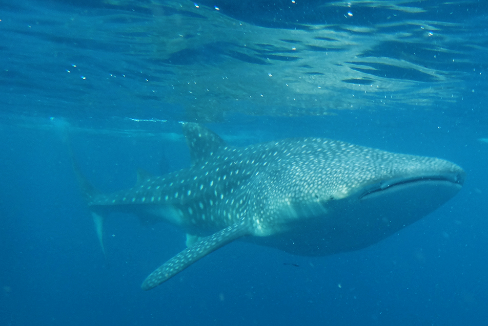 A whale shark slowly swimming beneath the surface, just a few meters away.