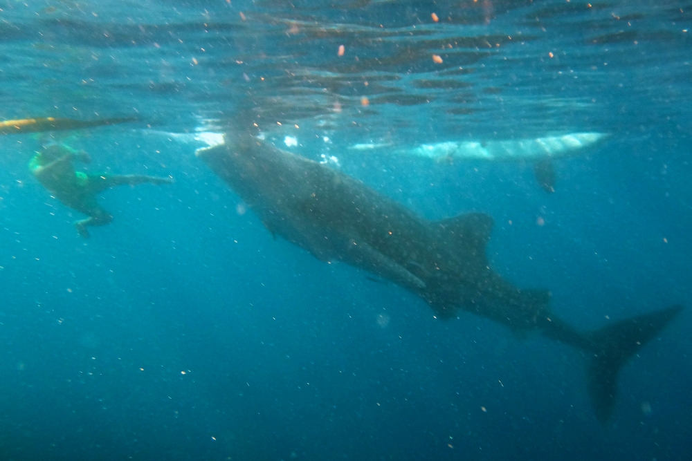 """A diver taking a very """"candid"""" photo of a young whale shark busy gulping food from the surface."""